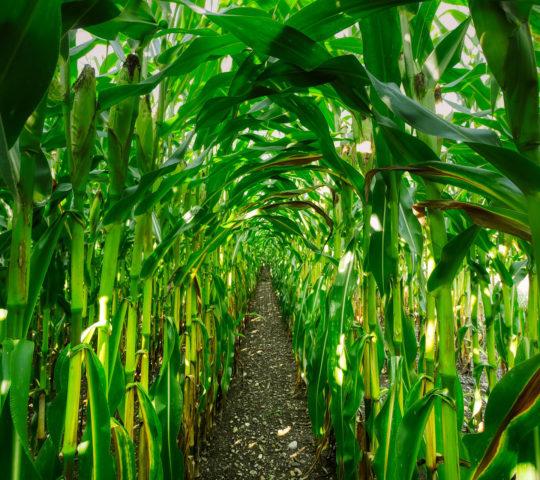 corn-4457379_1920cropped